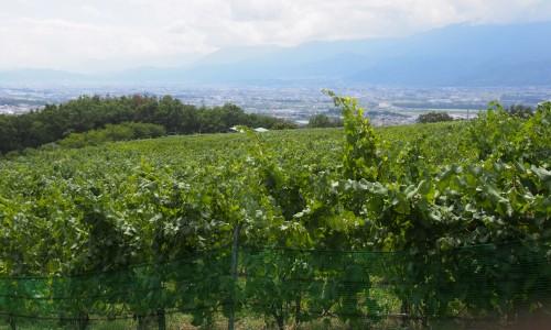 バスに乗ってワインぶどう畑を見る